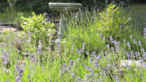 Superior Herbals lavender bed